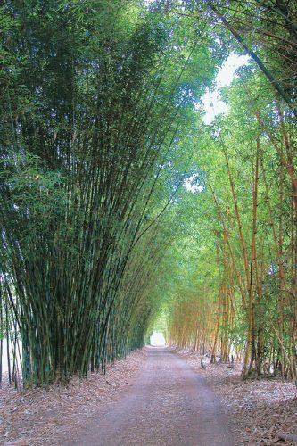 bamboo-driveway